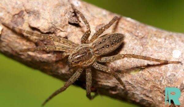 На Алтае найдена новая разновидность паука-волк