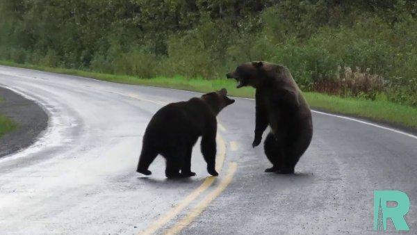 В Канаде прямо на шоссе сняли видео с двумя дерущимися медведями гризли