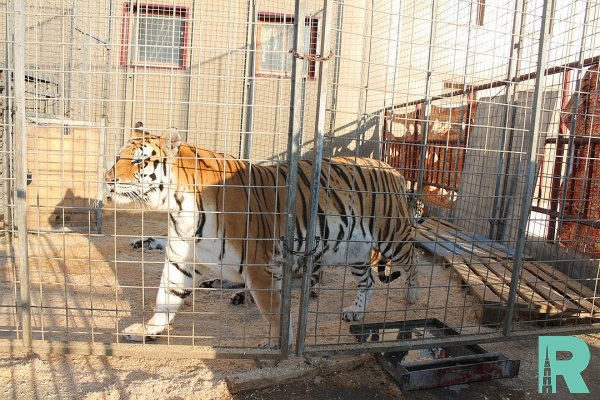 В Польше задержан россиянин, пытавшийся провести 10 тигров в Россию