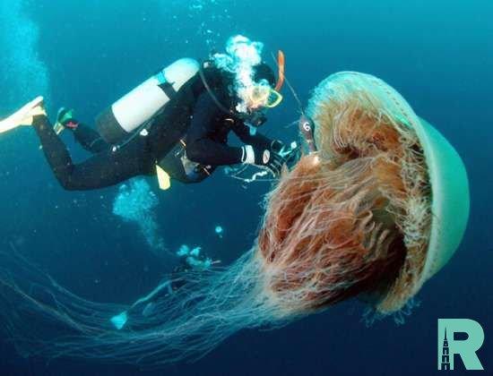 На курорт в Великобритании произошло нашествие 30-килограммовых медуз