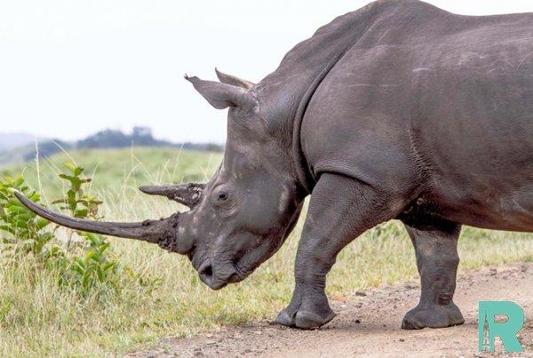 Ученые создали искусственный рог носорога чтобы спасти от браконьеров животных